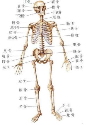 美术手臂骨骼结构
